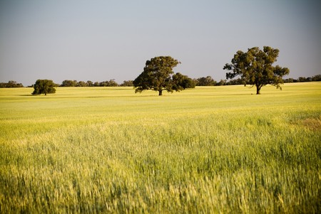 Heads of golden grain stretch out in fields at sundown Stock Photo - 6949716