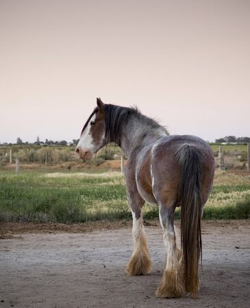 clydesdale: Majestic Clydesdale horse in profile at dusk