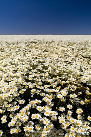 daisys: A perfect field of white daisys under a blue sky