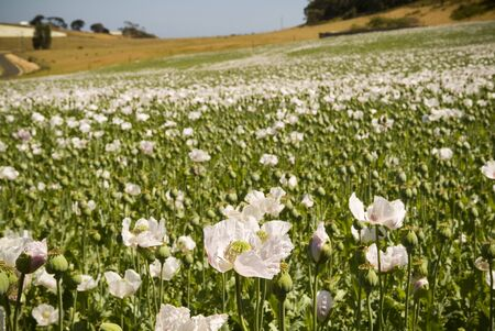 White poppies in a field of green on a sunny day Stock Photo - 6949742