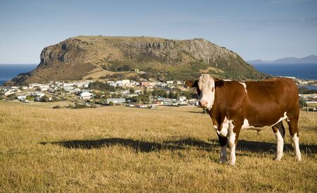 A cow grazes on a hilside of quaint Stanley, with local attraction The Nut looming above. Stock Photo - 6949768