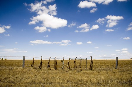 Dead foxes hung along a field's fence line in rural Australia. Stock Photo - 6949753