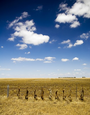 Dead foxes hung along a field's fence line in rural Australia. Stock Photo - 6949749