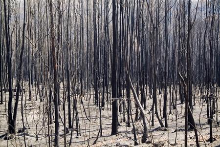 bushfire: Aftermath of a bushfire, dead and blackened trees. Stock Photo