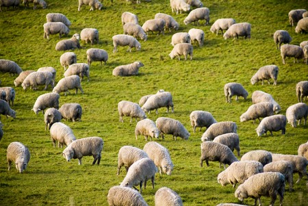 ubiquitous: Lush green rolling hills populated with the ubiquitous New Zealand sheep.