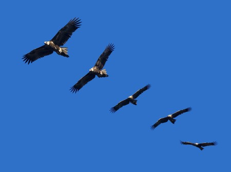 wedgetailed: Montage of wedge-tailed eagles in full flight on blue sky with copy space