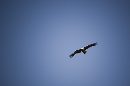 wing span: Wedge-Tail eagle in full flight on blue sky with copy space