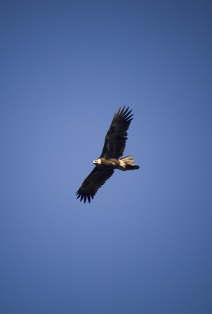 wedges: Wedge-tailed eagle in full flight on blue sky Stock Photo
