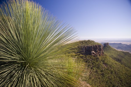 pointy: Grass Tree (xanthorrhoea or black boy) shows its sharp, pointy spikes