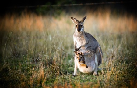 Australian kangaroo with a joey in its pouch at sunset Stock Photo - 7611750