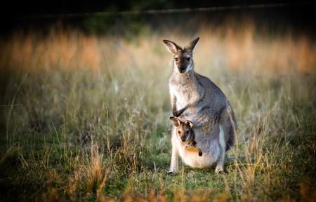 Canguro australiano con una cría en su bolsa al atardecer  Foto de archivo