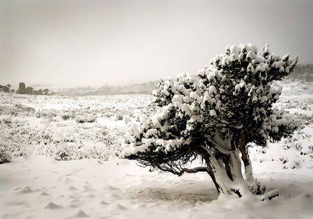 Trees laden with fresh snow on the Overland Track in Tasmania, Australia. photo