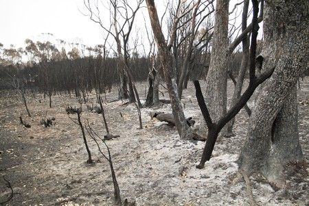 bushfire: The blackened remains of trees after a bushfire