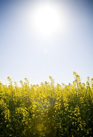 Canola crops glow beneath a hot sun in Australia Stock Photo - 8024729