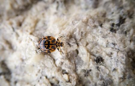 ladyfly: A single lady bug walks on a stone wall Stock Photo