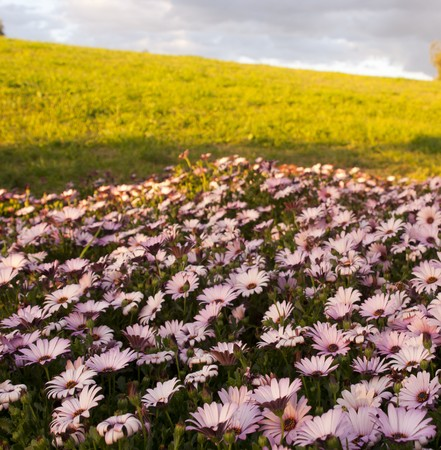 Amazing field of pink daisies at sunset photo
