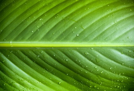 textures: Beautiful detail of large fresh leaf with water droplets Stock Photo