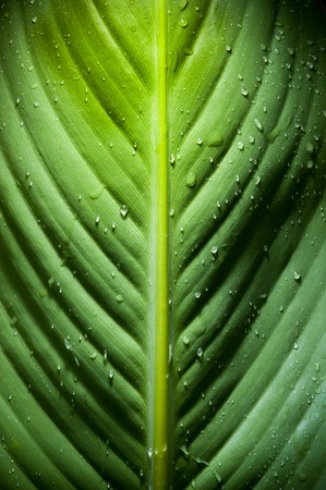 High contrast detail of large fresh leaf with water droplets Stock Photo - 8235138