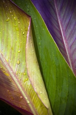Three very differently colored leaves overlap with water droplets on top photo
