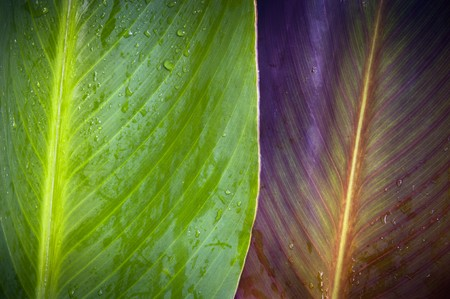 Two very differently colored leaves overlap with water droplets on top Stock Photo - 8235135
