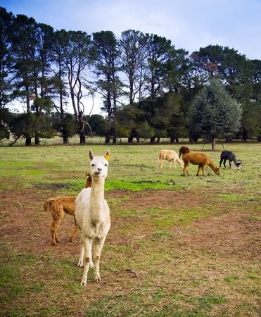 Eine weiße Alpaka starrt Kamera mit mehr behind