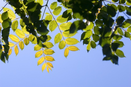 Seasonal leaves in greens and yellows against a blue sky Stock Photo - 8437661