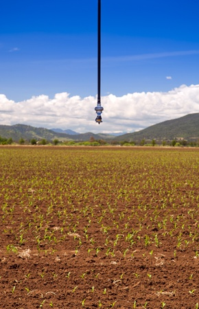 An irrigation sprinkler above a field of corn sprouts photo