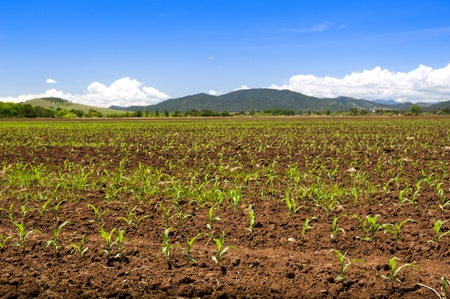 Fresh new sprouts of corn grow in endless fields Stock Photo - 8437716