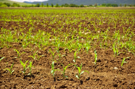 Fresh new sprouts of corn grow in endless fields photo