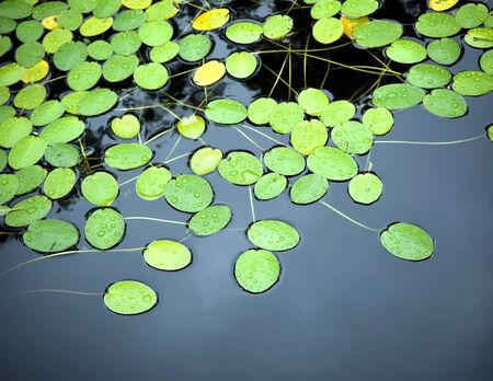 Bright green lilly pad's cover the surface of a pond Stock Photo - 8902987