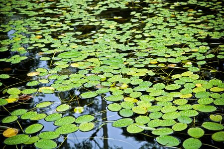 Bright green lilly pads cover the surface of a pond photo