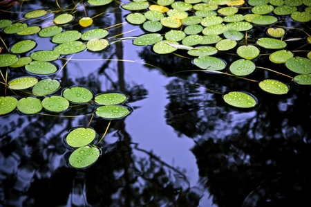 Bright green lilly pad's cover the surface of a pond Stock Photo - 8902999