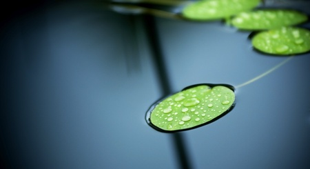 lily pad: Bright green lilly pads cover the surface of a pond