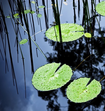 lirio de agua: Lilly verde brillante almohadilla cubre la superficie de un estanque Foto de archivo
