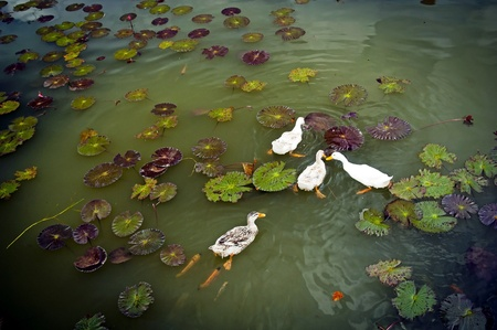 Ducks on a lilly pond followed by fish photo
