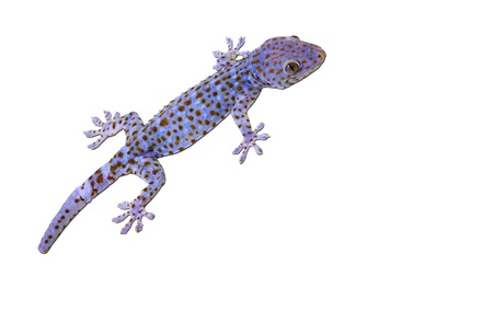 Large Tokay Gecko isolated on white background photo