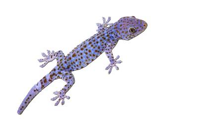 tokay gecko: Large Tokay Gecko isolated on white background