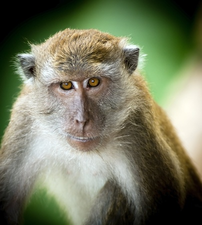 macaque: Monkey (Long-Tailed Macaque) in the wild having fun Stock Photo