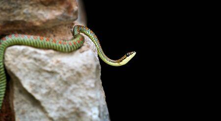 A brightly coloured Paradise Snake on rocks Stock Photo - 10042927