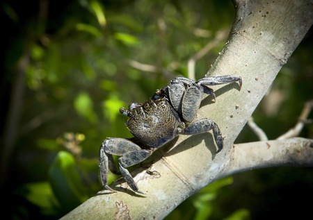 mangrove: Crab sits on a branch in the mangrove swamp