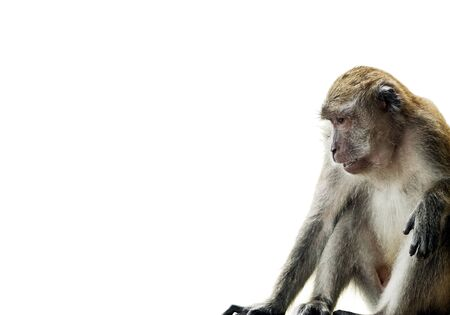 langkawi island: Monkey (Long-Tailed Macaque) isolated on white at edge of frame