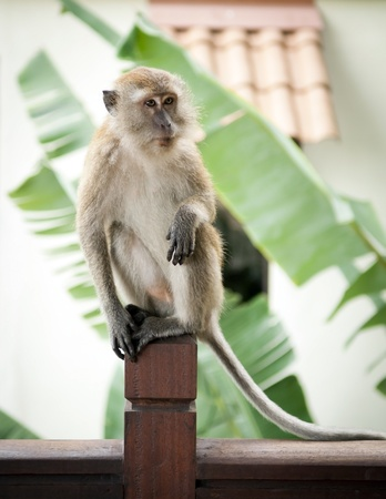 tailed: Monkey (Long-Tailed Macaque) in the wild having fun Stock Photo
