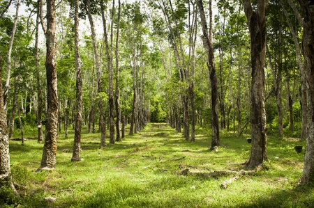 latex: Rows of rubber trees being tapped in a plantation