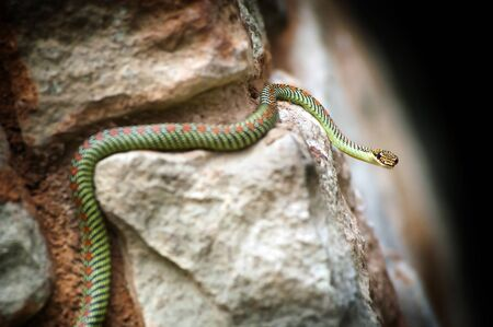 A brightly coloured Paradise Snake on rocks Stock Photo