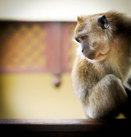 langkawi island: Monkey (Long-Tailed Macaque) in the wild having fun Stock Photo