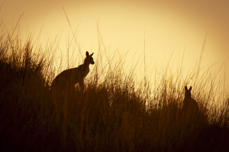 Australian Kangaroos silhoutted at sunset in the wild Stock Photo
