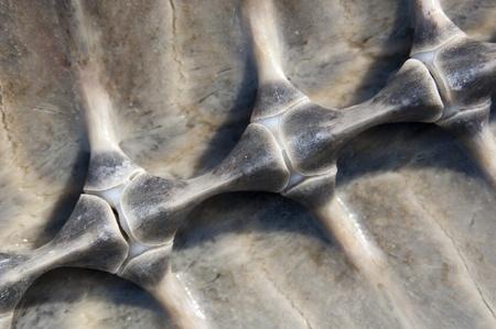 Columna vertebral de una tortuga marina en su concha Foto de archivo - 11197482