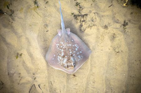 stingray: Australian stingray sweeps the ocean floor