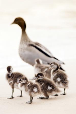 baby ducks: Baby ducks at play on the beach