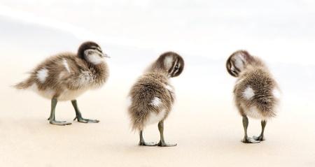 duck feet: Baby ducks at play on the beach